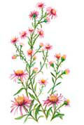Цветочный гороскоп - Астра (12 сентября - 22 сентября)