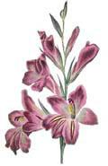 Цветочный гороскоп - Гладиолус (23 ноября - 2 декабря)