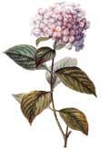 Цветочный гороскоп - Гортензия (11 апреля - 20 апреля)