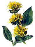 Цветочный гороскоп - Горечавка желтая (1 января - 10 января)