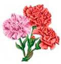 Цветочный гороскоп - Гвоздика (3 сентября - 11 сентября)