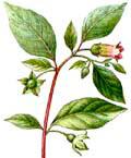 Цветочный гороскоп - Красавка (11 февраля - 19 февраля)