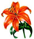 Цветочный гороскоп - Лилия (11 марта - 20 марта)