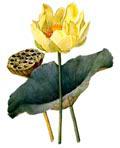 Цветочный гороскоп - Лотос (13 декабря - 22 декабря)