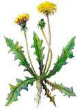 Цветочный гороскоп - Одуванчик (3 декабря - 12 декабря)