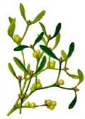 Цветочный гороскоп - Омела (1 февраля - 10 февраля)