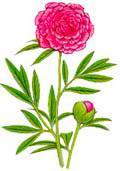 Цветочный гороскоп - Пион (13 ноября - 22 ноября)
