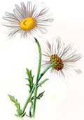 Цветочный гороскоп - Ромашка (22 мая -31 мая)