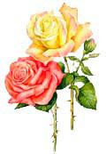 Цветочный гороскоп - Роза (13 августа - 23 августа)